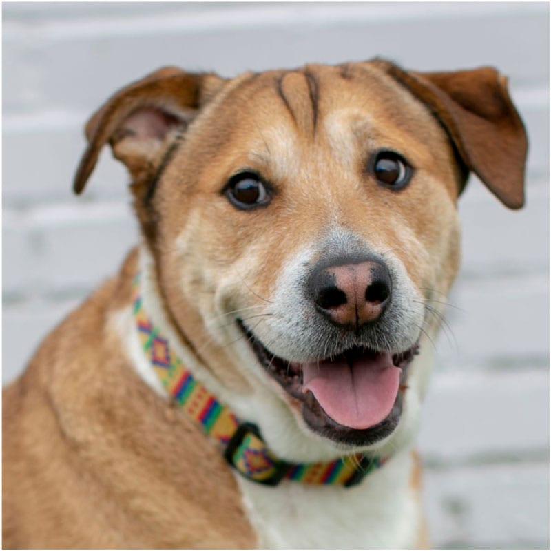 Austin, the K9 Digital Marketing Agency Dog Companion