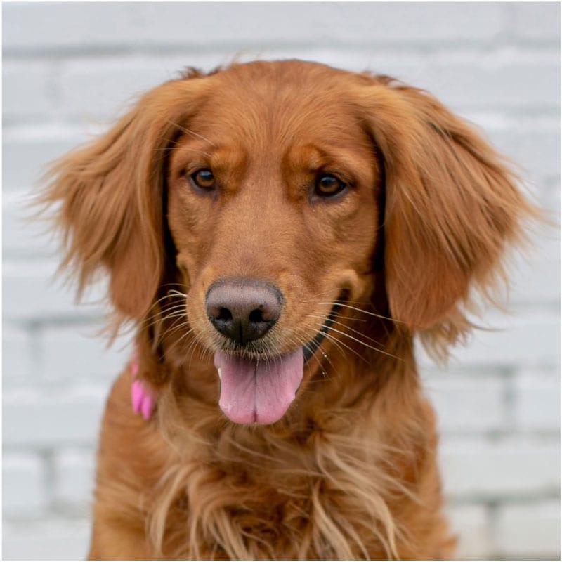 Dixie, the K9 Digital Marketing Agency Dog Companion