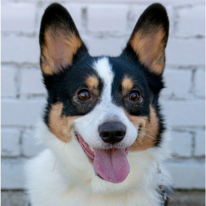Drama, the K9 Digital Marketing Agency Dog Companion