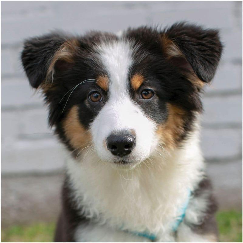 Ophelia, the K9 Digital Marketing Agency Dog Companion